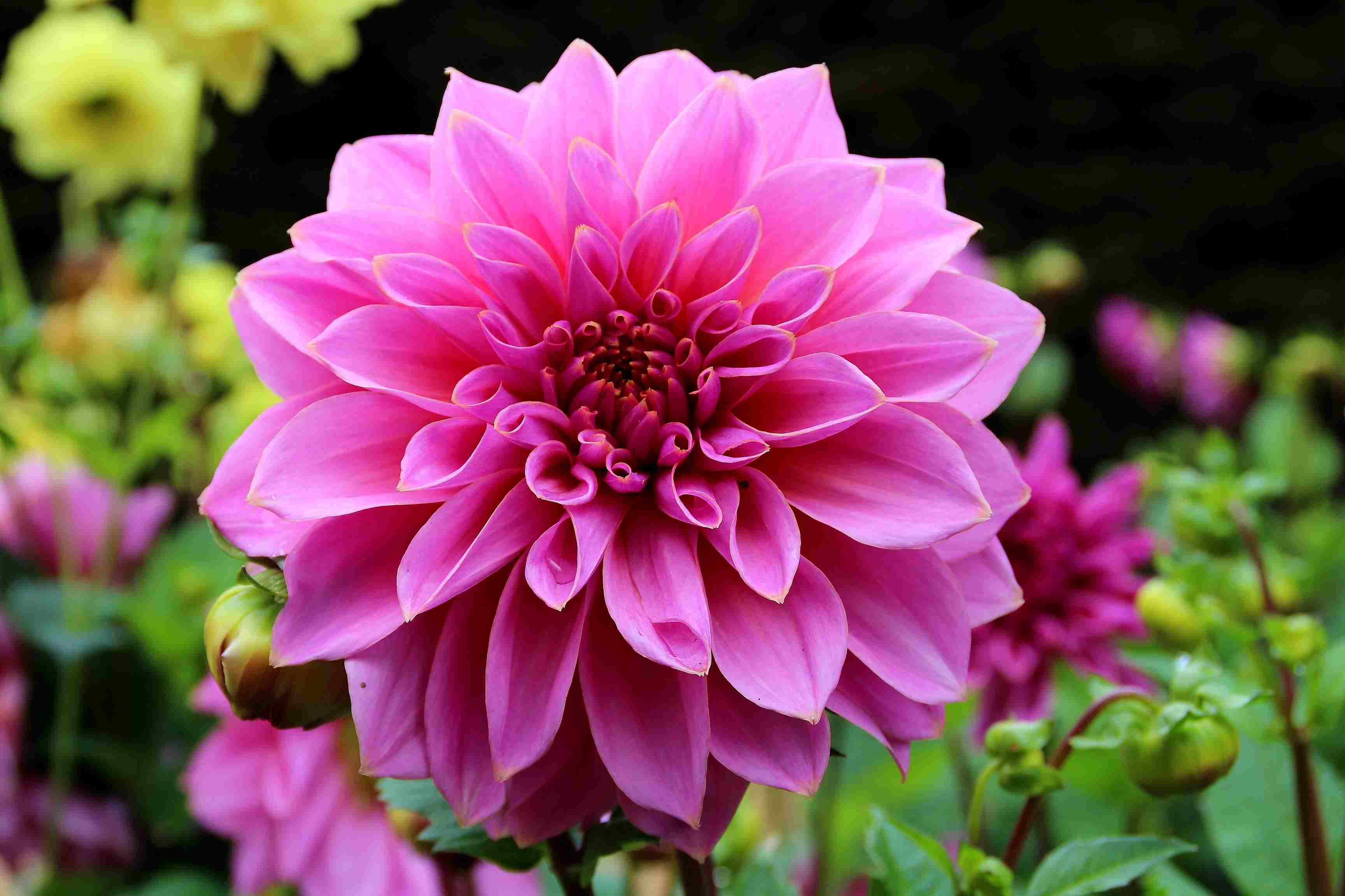 How to Overwinter Dahlia Tubers