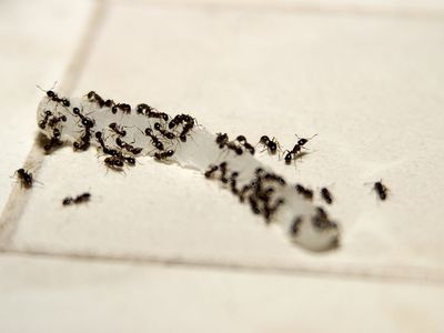Superb 9 Simple Steps To Get Rid Of Ants And Keep Them Out Download Free Architecture Designs Jebrpmadebymaigaardcom
