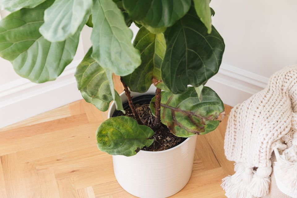 leaves falling from a fiddle leaf fig