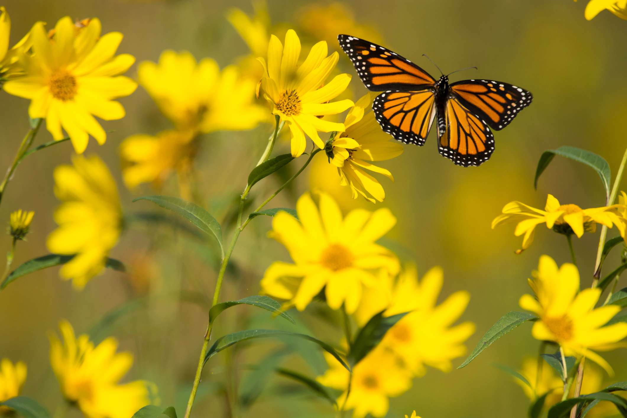 Compass plant with a monarch butterfly