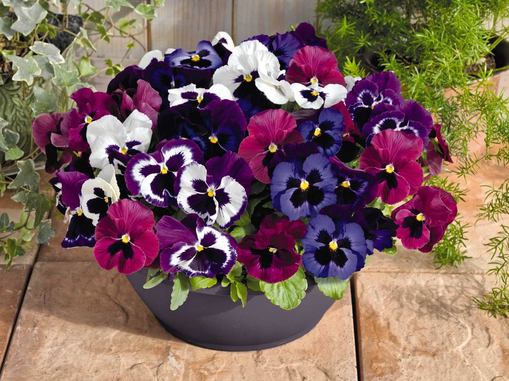 'Inspire Deluxxe Mulberry Mix' pansies in berry and white hues