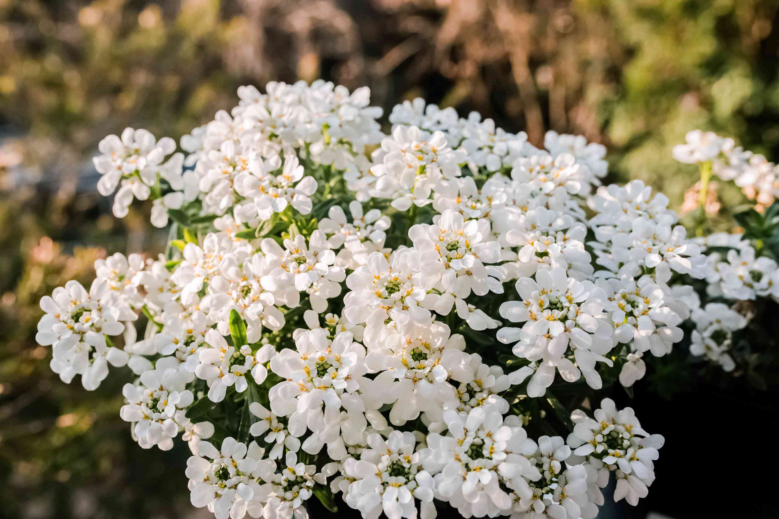 group of candytuft flowers