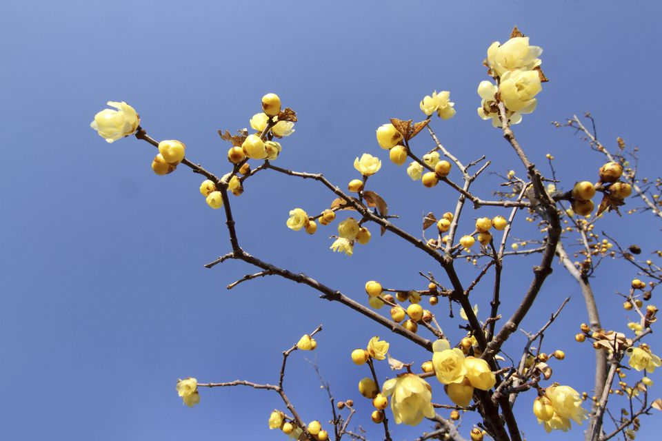 Winter sweet blossoms set against a bright blue sky.