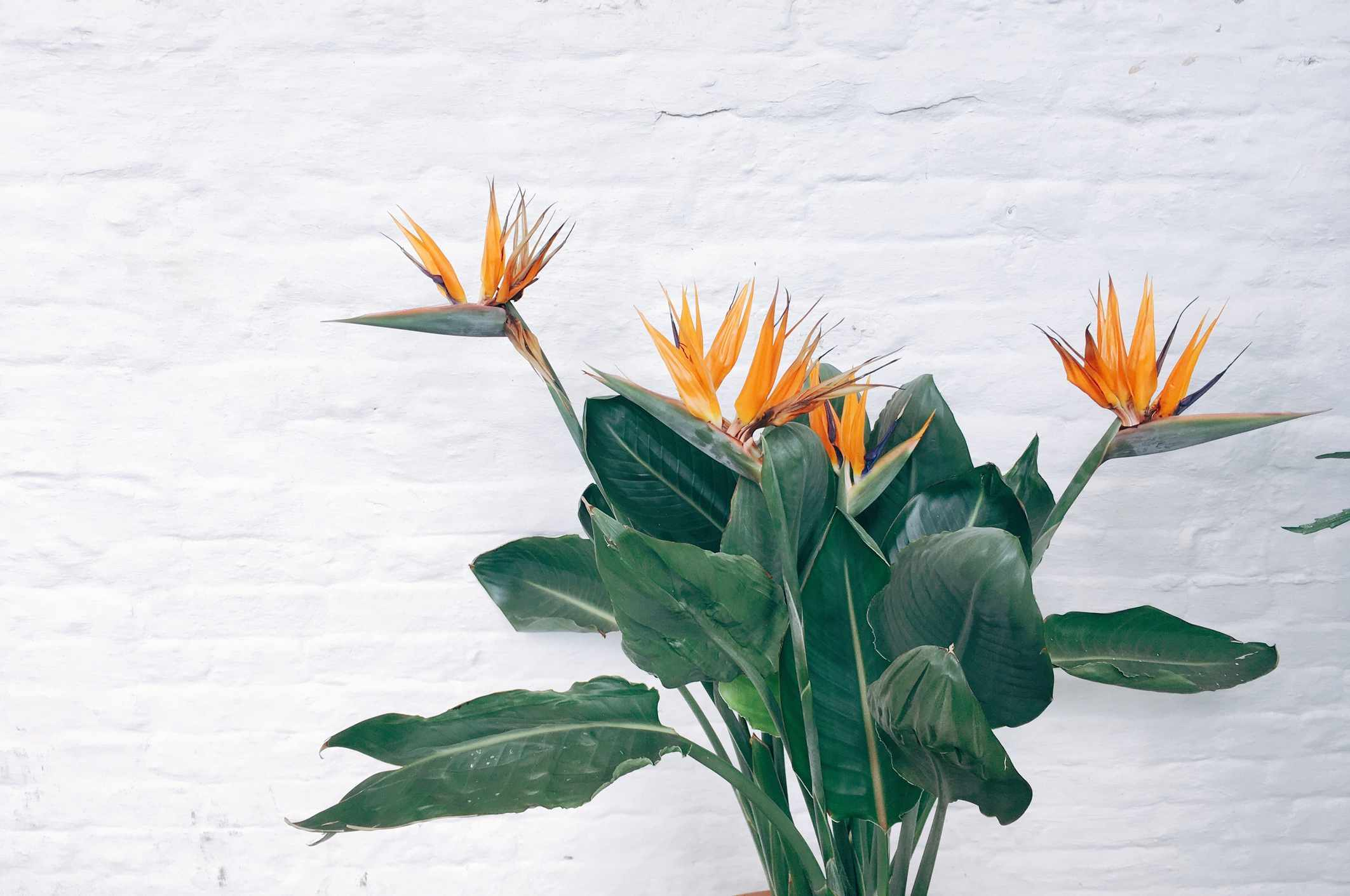 A Bird of Paradise plant sits in front of a white brick wall.