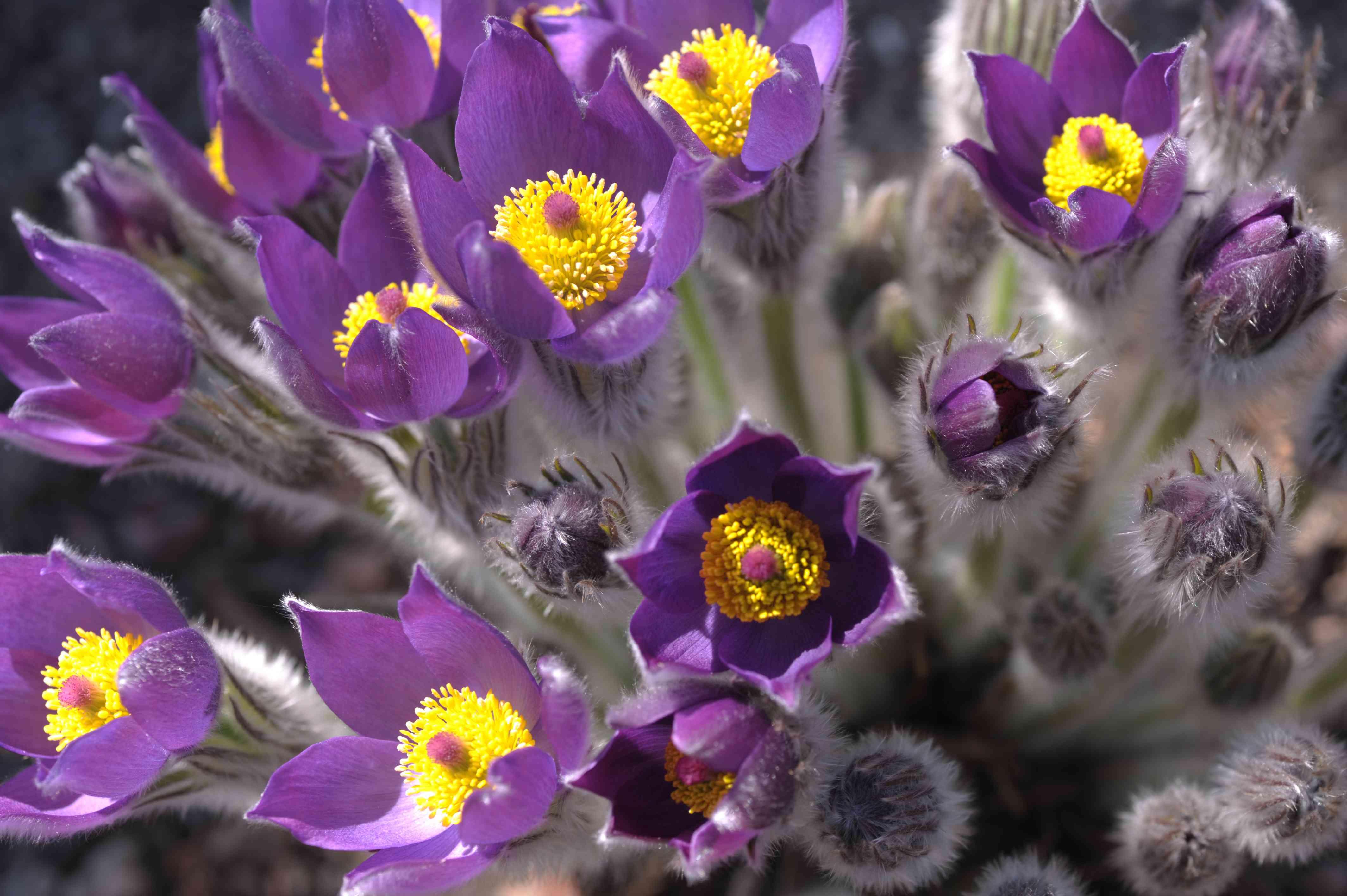 closeup of pasque flowers
