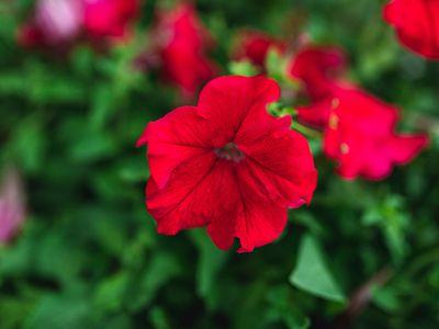 Four o' clock plant