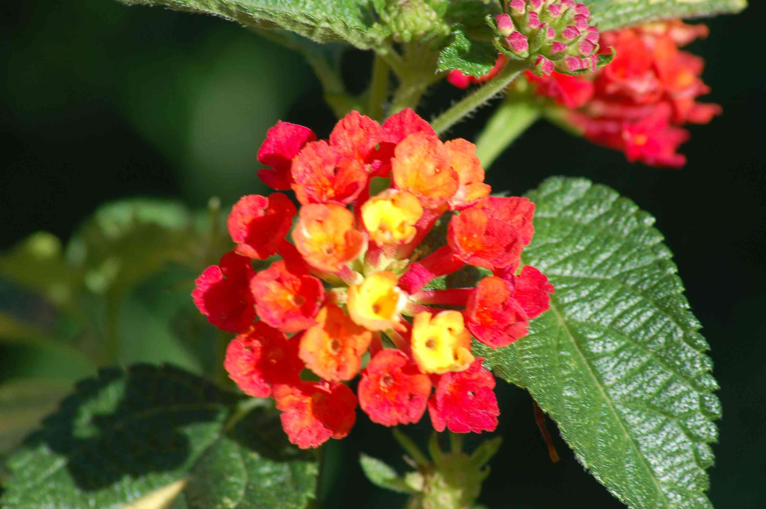 Lantana shrub branch with small red and yellow flower clusters next to leaves closeup