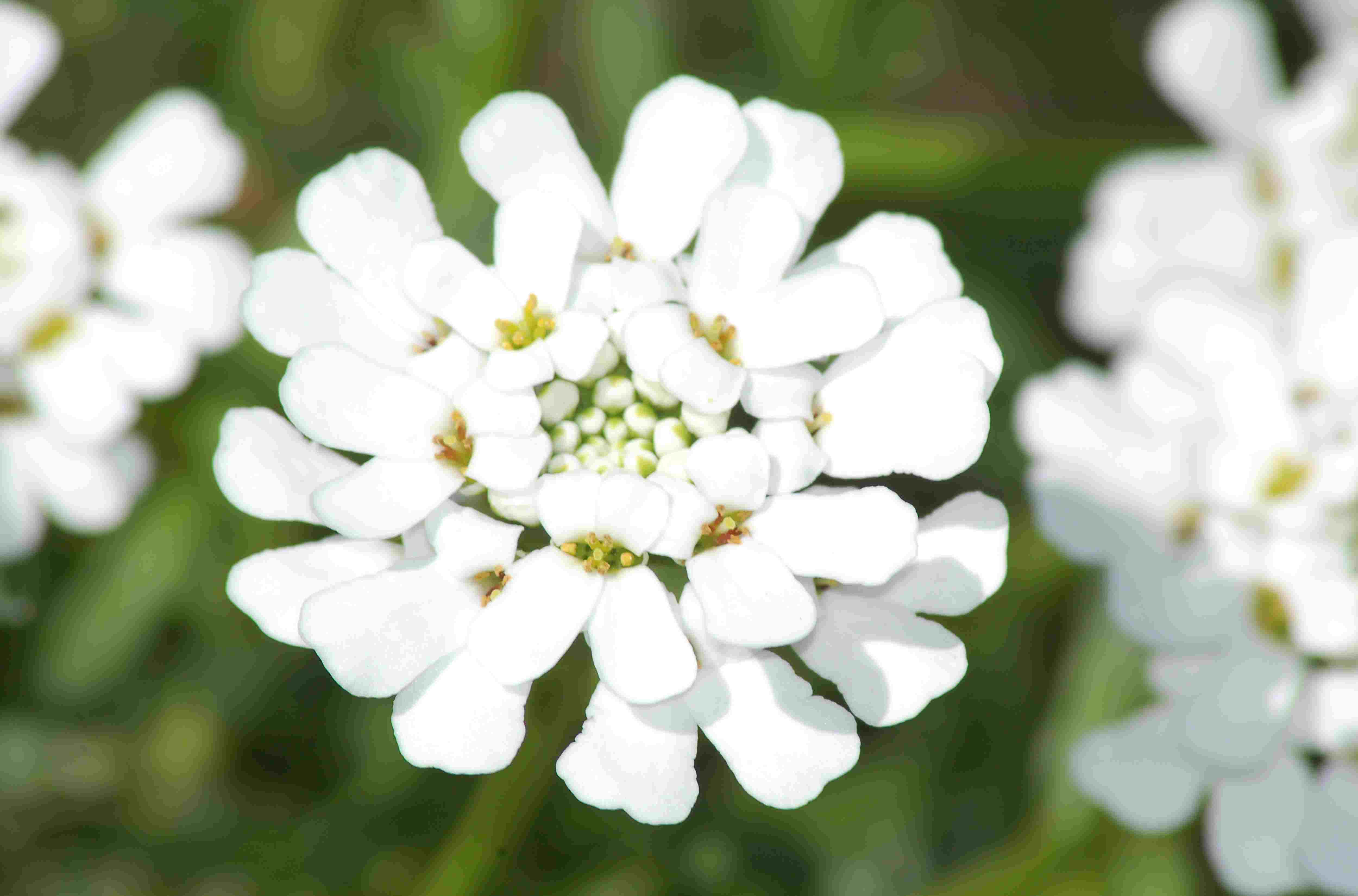 Candytuft's bloom (image) has an interesting petal pattern. It is a white perennial.
