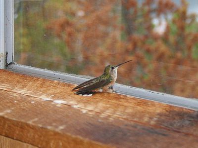 Hummingbird trapped inside a house