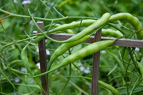 Heriloom Edible Podded Radish 'Rat's Tail'