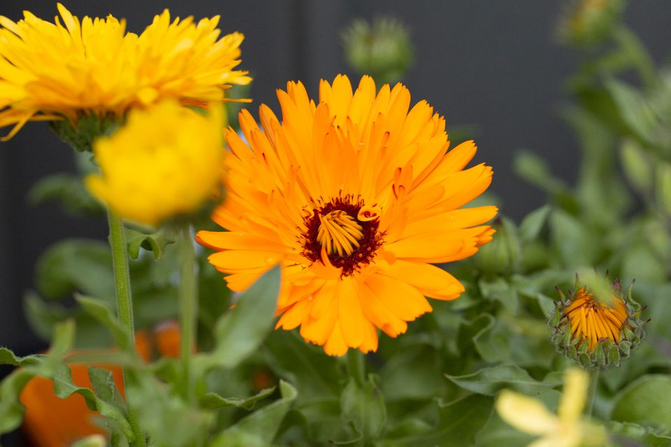 calendula growing