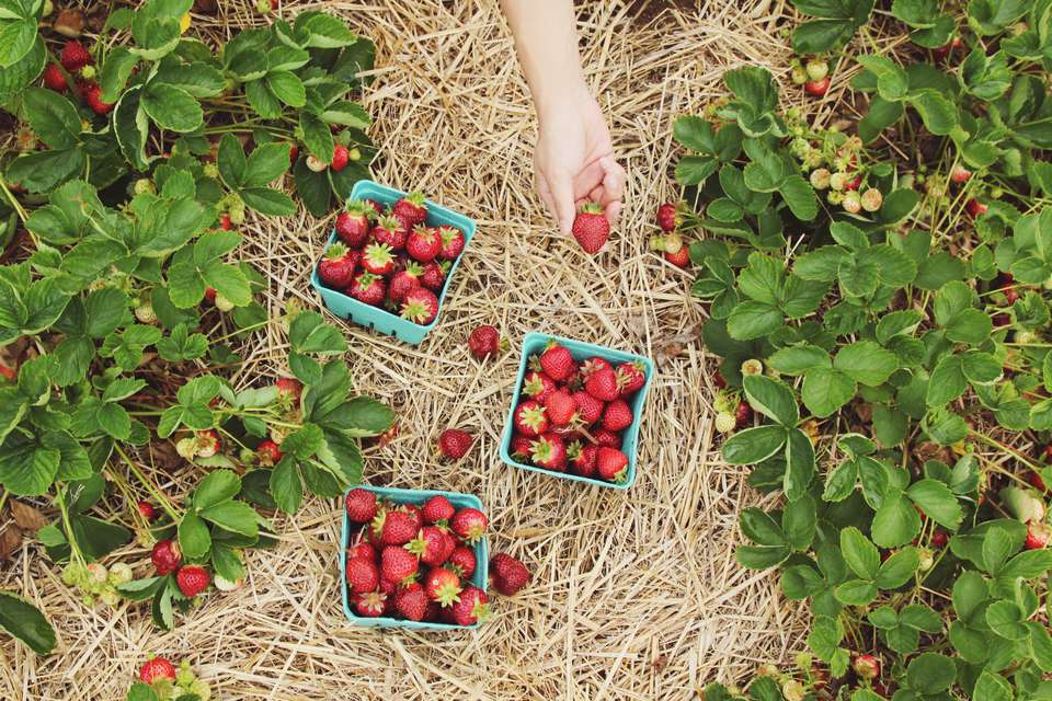 High Angle View Of Woman Holding Strawberry On Field
