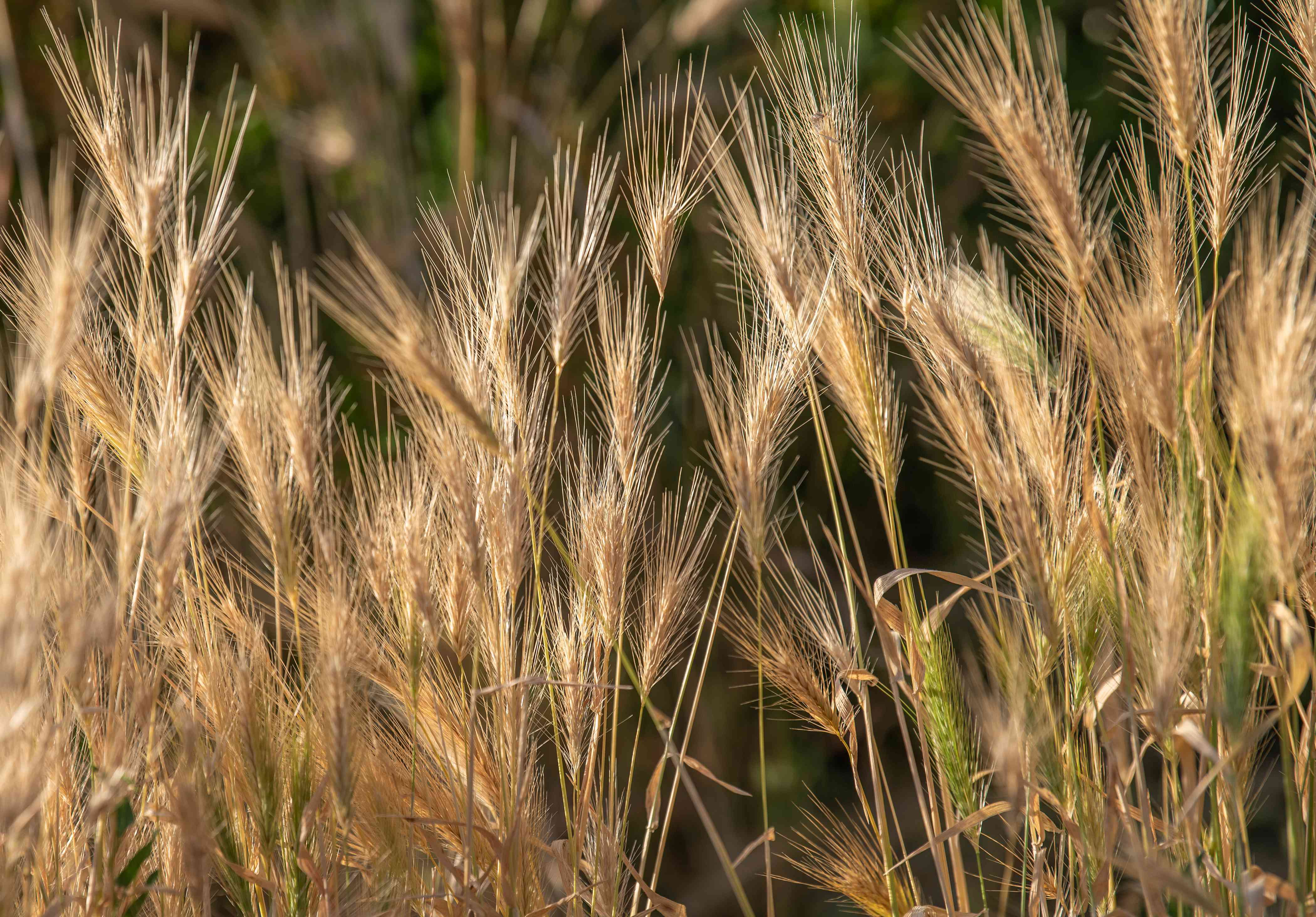 Canada wild rye with thin stems and sandy-yellow stalks on ends