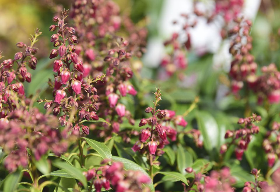 Japanese andromeda plant with small pink bell-shaped flowers closeup