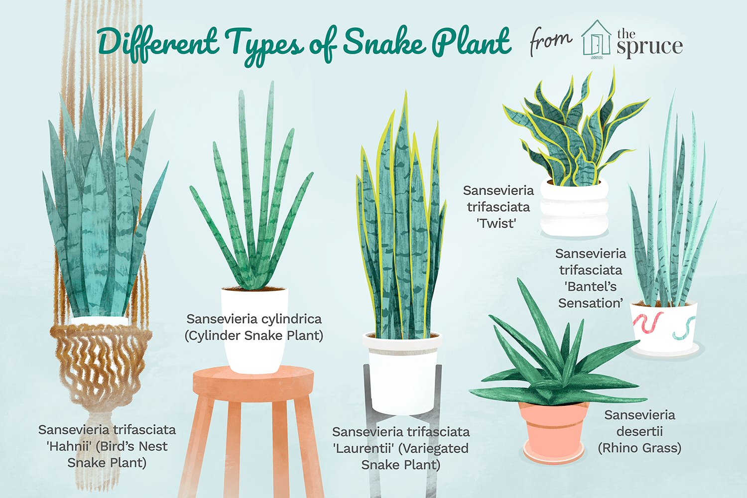Sansevieria Plant Feng Shui how to grow and care for snake plant
