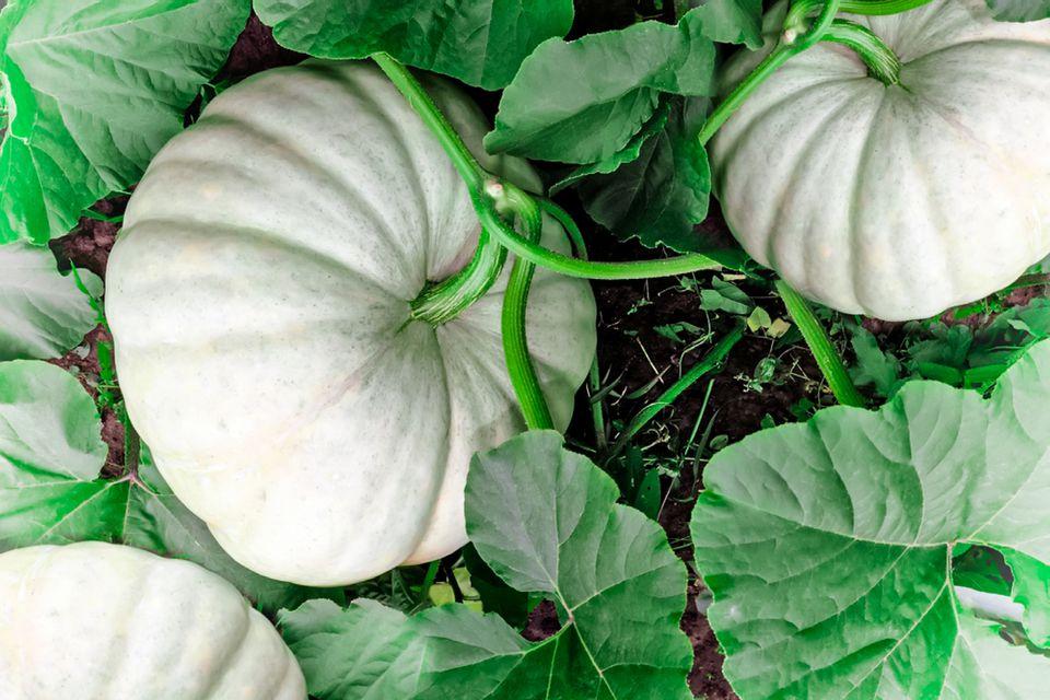 white pumpkin patch