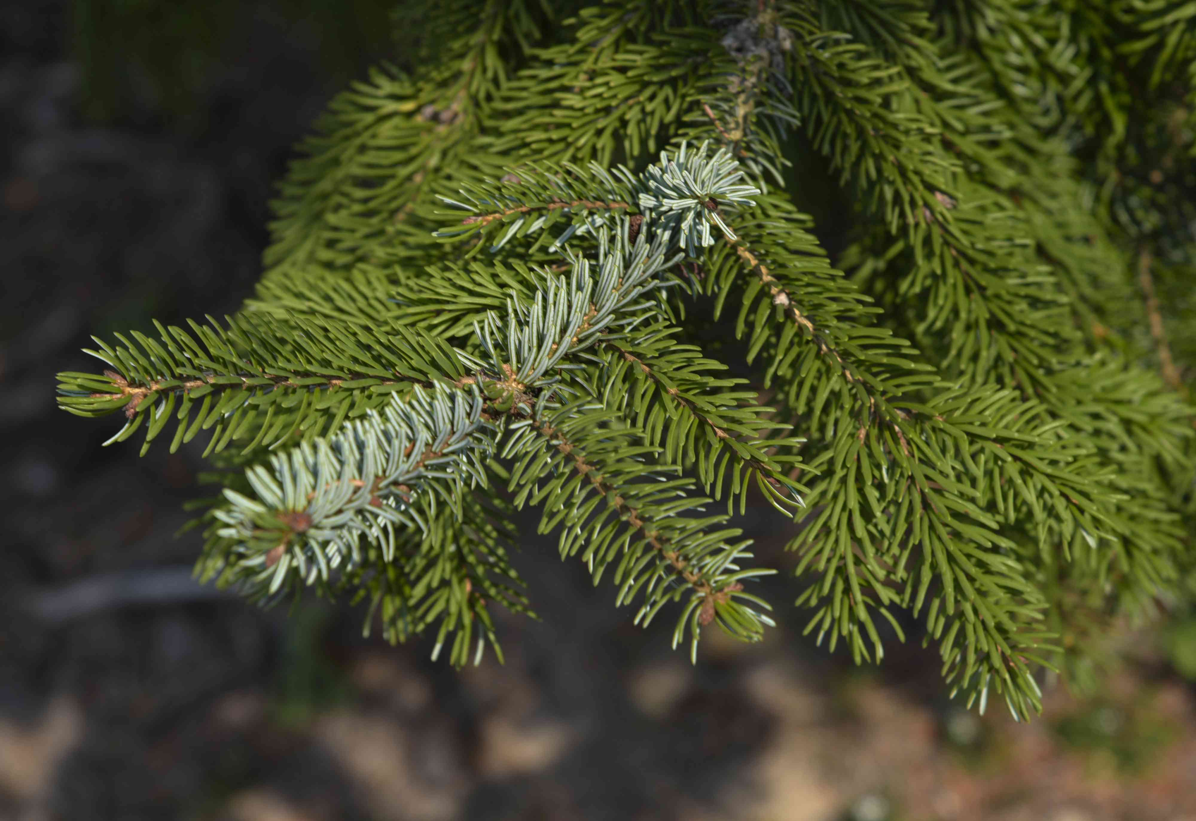 Serbian spruce tree branch with long needles closeup