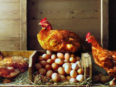 How To Make Your Own Chicken Or Poultry Feed