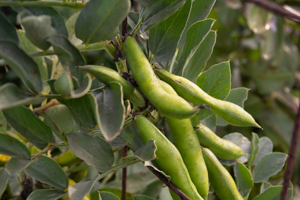 Fava bean plant with green pods closeup