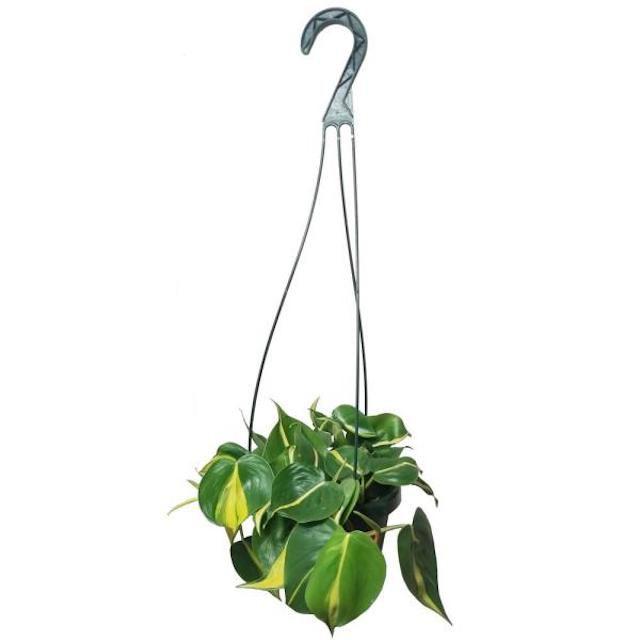 Philodendron Brasil in Hanging Basket