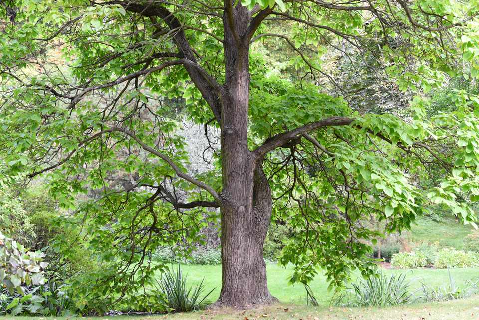 Catalpa tree with tall trunk with sprawling branches and bright green leaves in wooded area