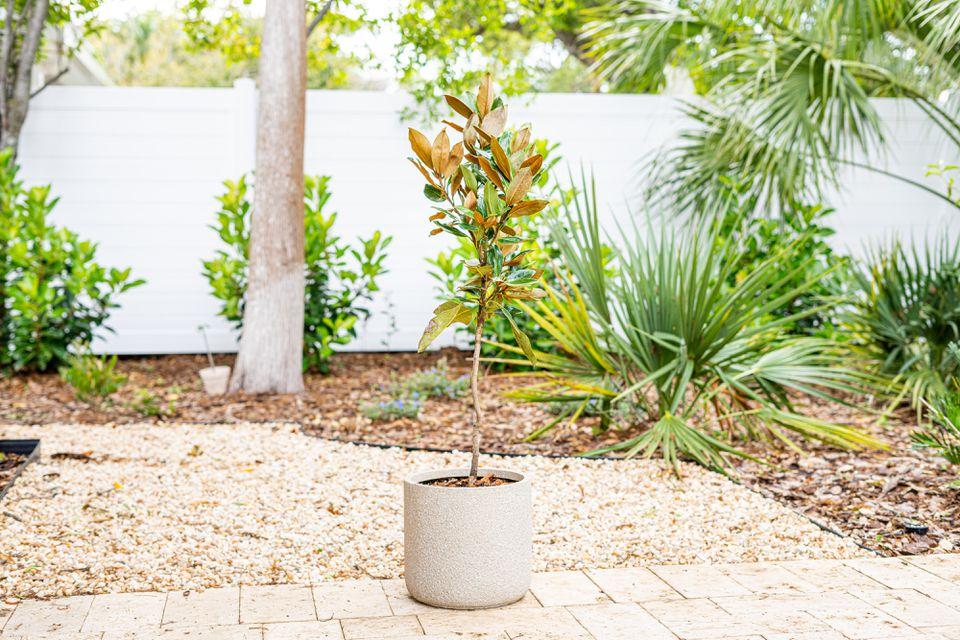 Magnolia tree potted in a tan ceramic pot in landscaped backyard
