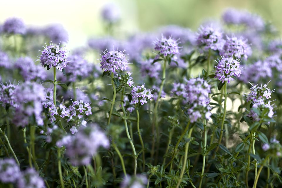 Summer Savory in full bloom (close up of Lilac flowers)
