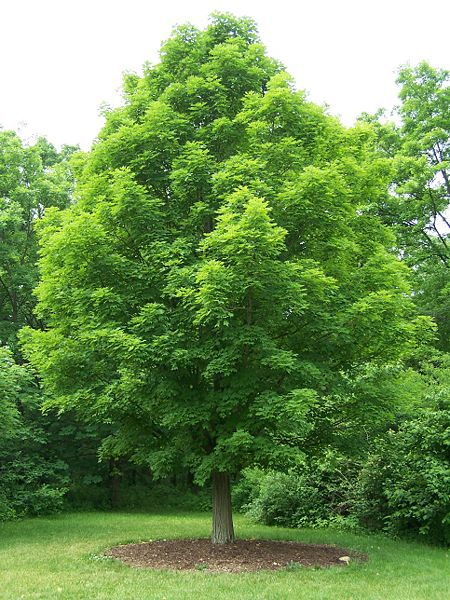 Arce azucarero - Acer saccharum