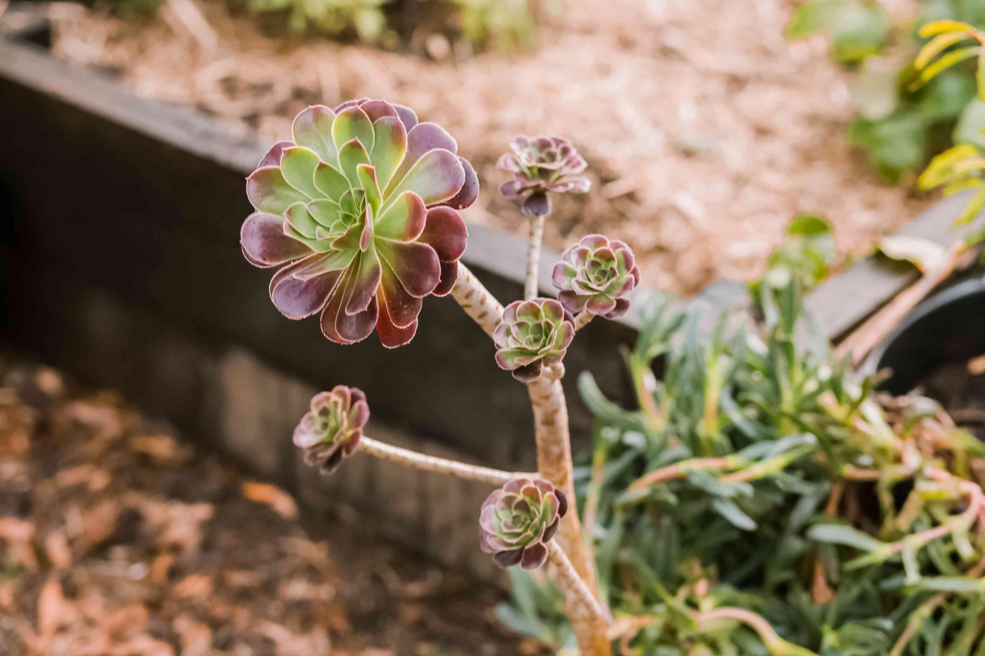 one type of aeonium plant