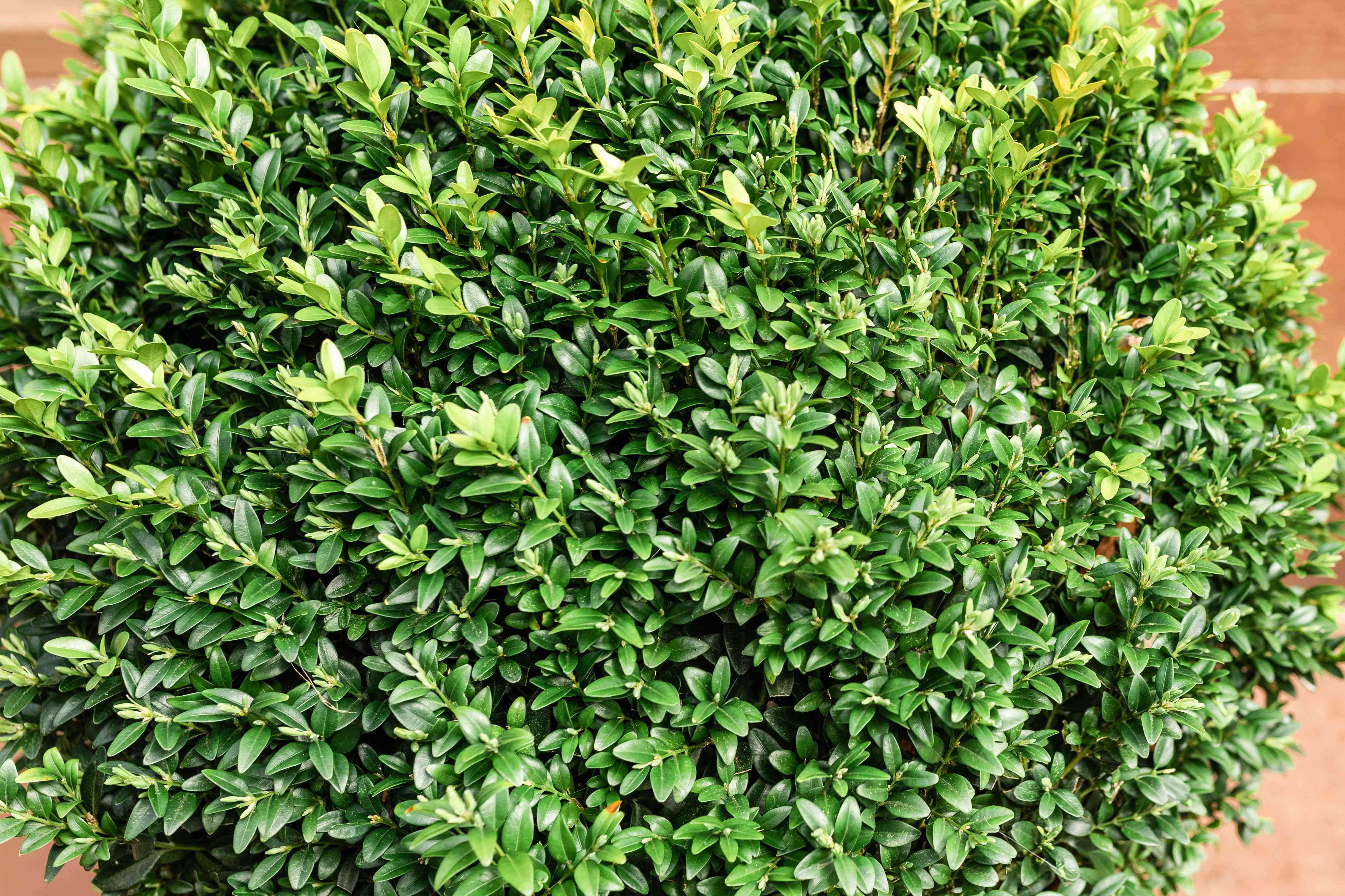 Boxwood shrub with small densely-packed leaves from above
