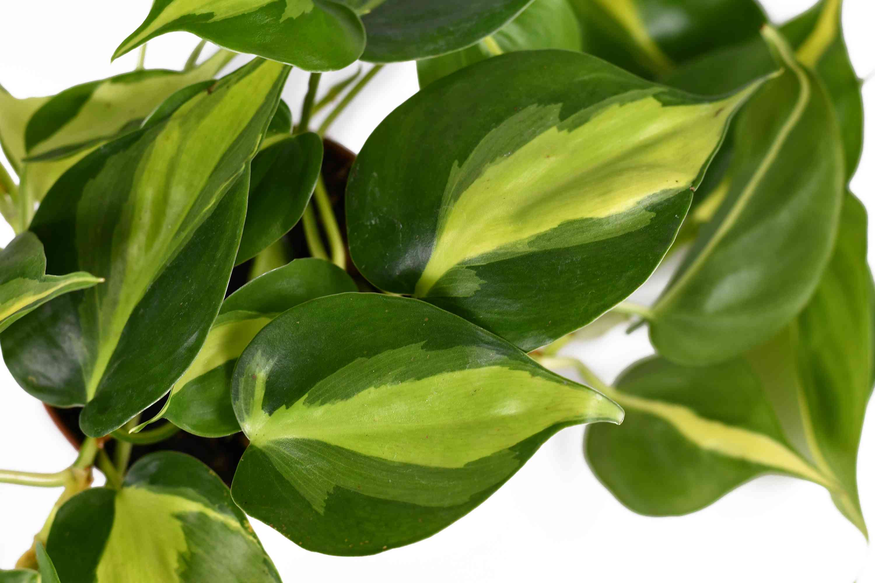 Philodendron Brasil leaves close up showing shades of green variegation.