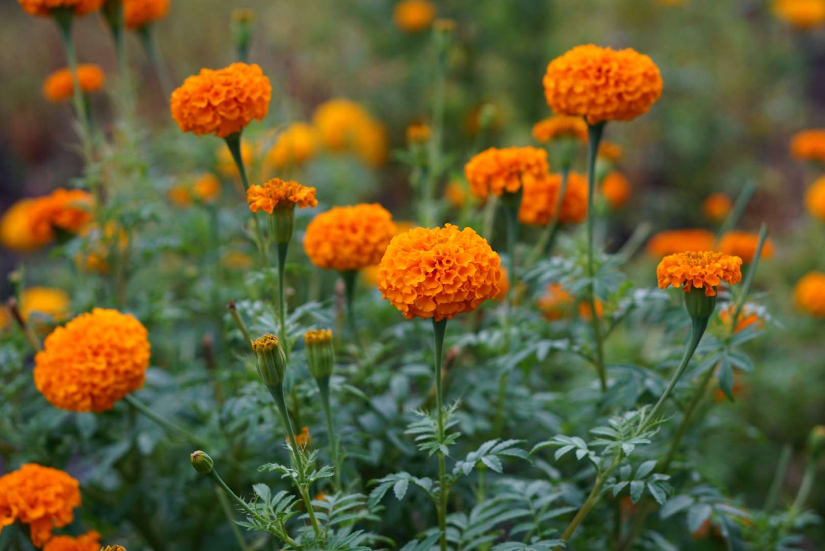 Marigold flowers with bright orange frilly petals clumped on top of stems