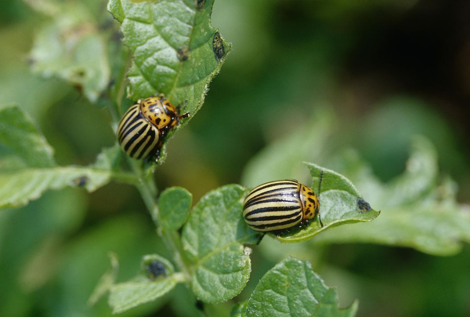 Potato beetles on leaves