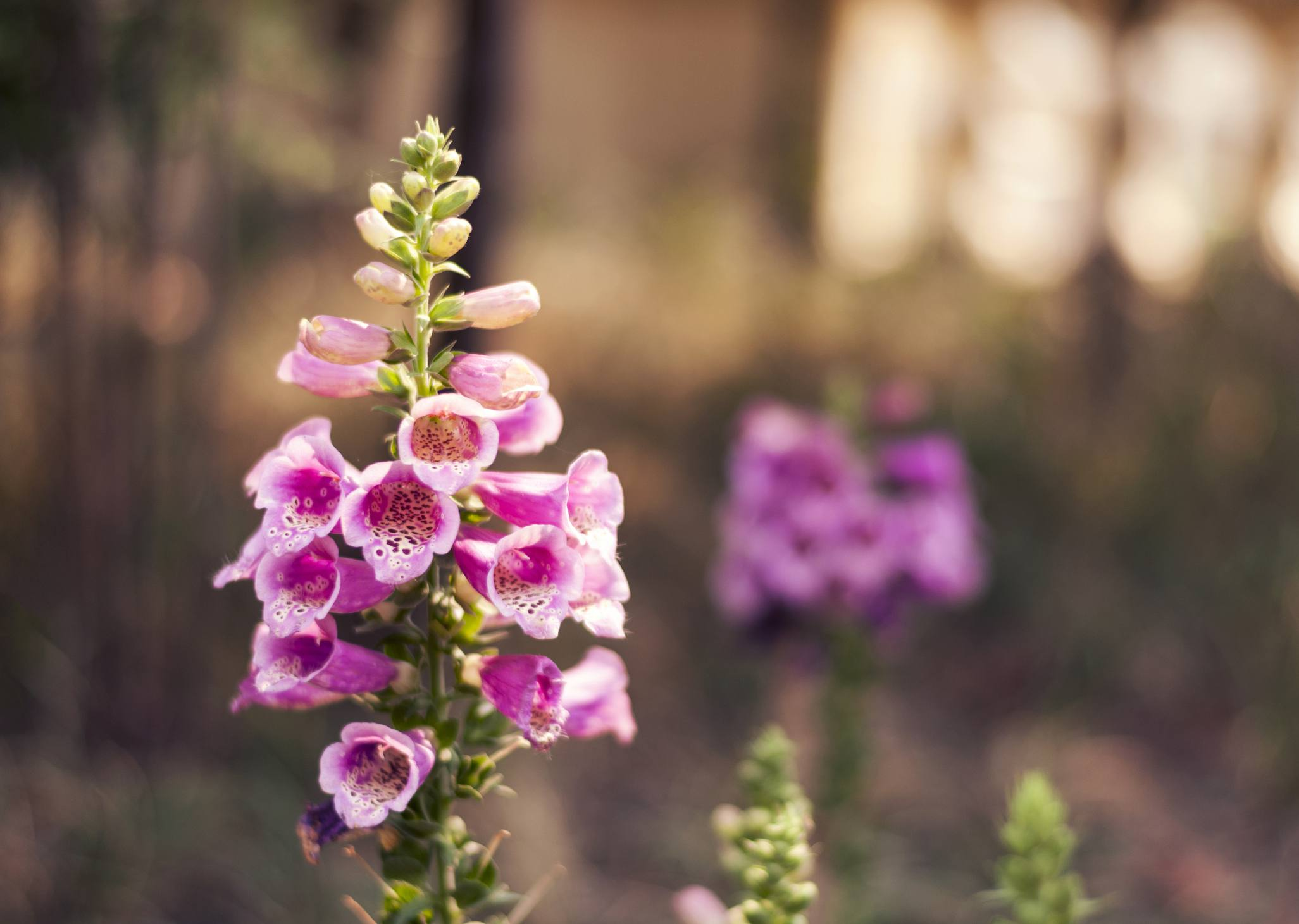 Purple Digitalis purpurea (foxglove) blooming.