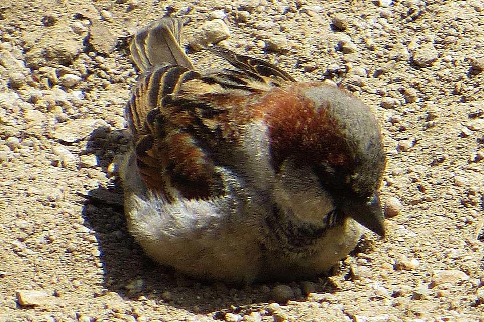 Sparrow Dust Bath