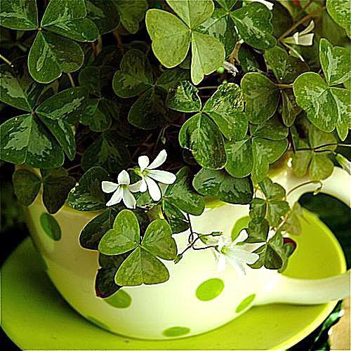 imagen de jardinería en contenedor de oxalis o trébol
