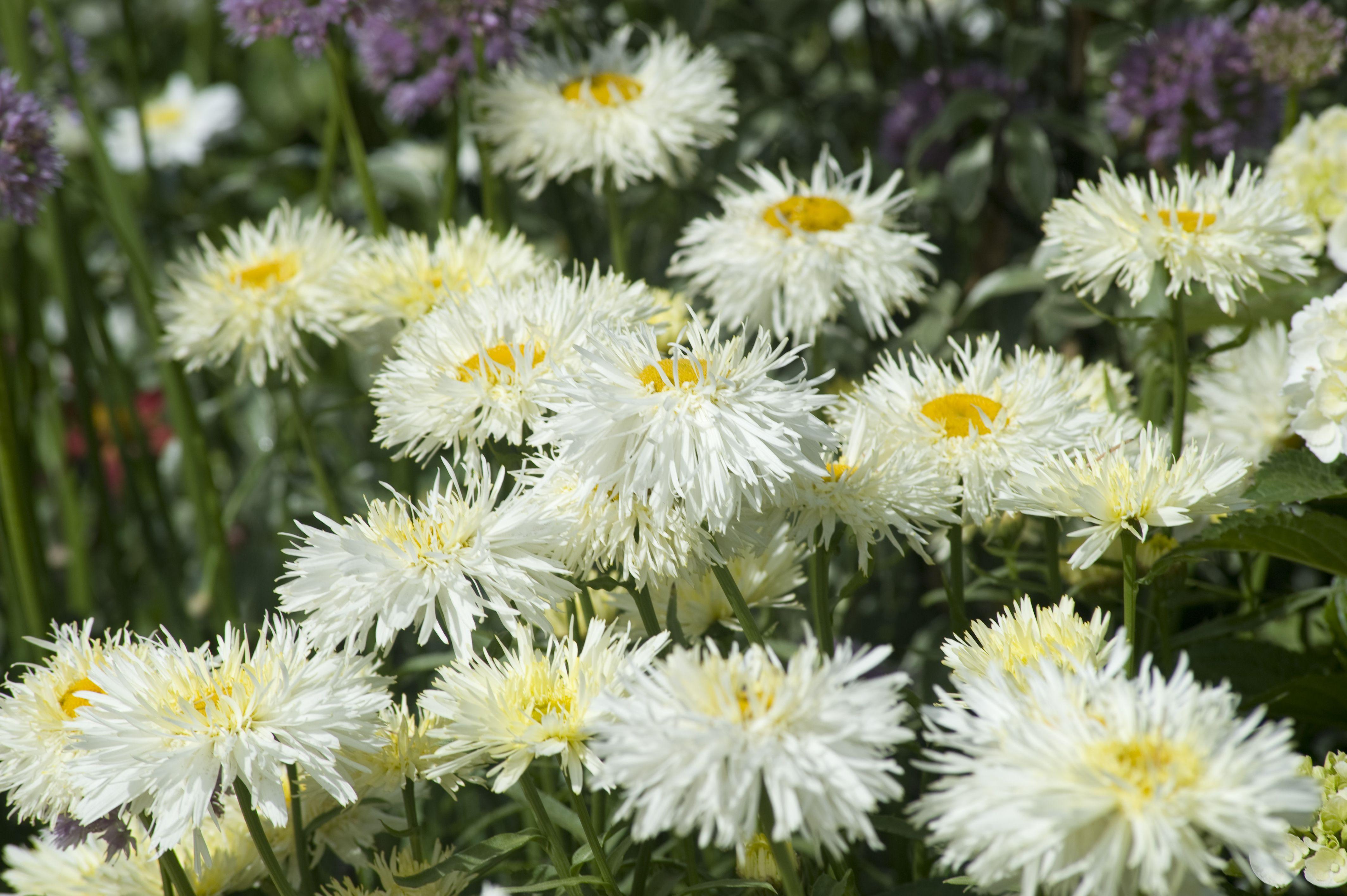 Daisy Leucanthemum maximus 'Goldrush'