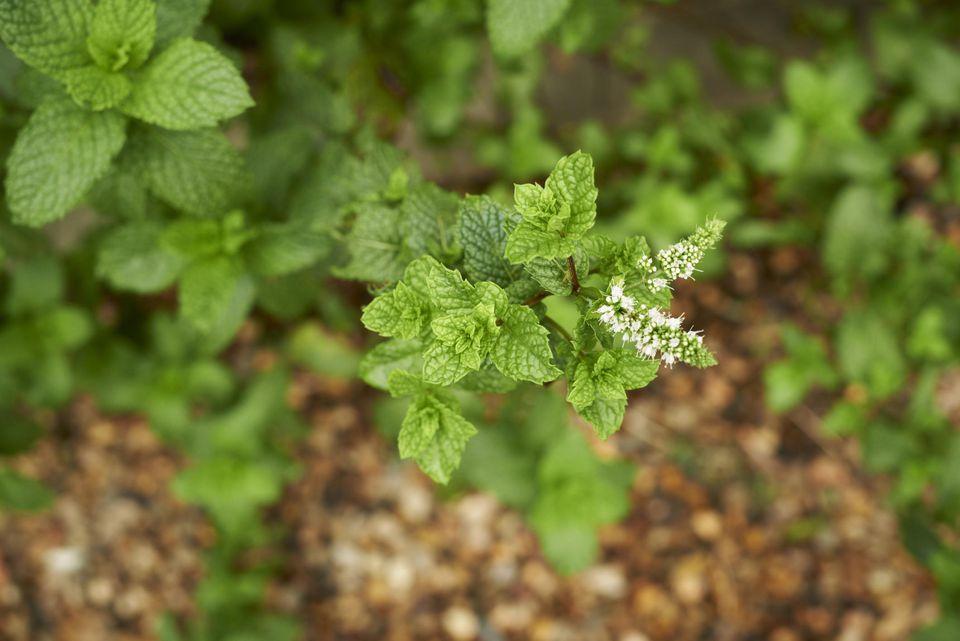 Flowers on mint plant.