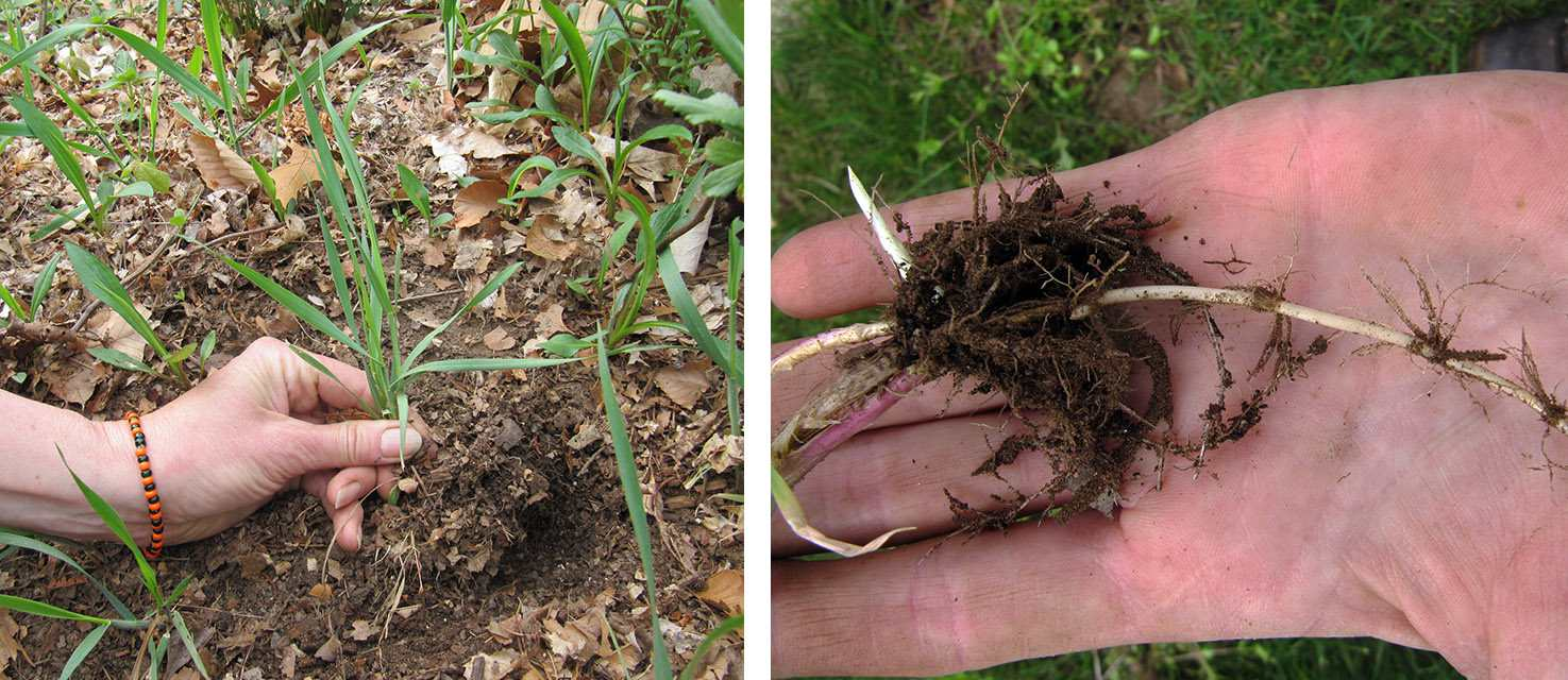 Quackgrass grows upright and, on the surface looks similar to other lawn weeds. Beneath the surface, however, it has long white rhizomes. Note the red stem on the close-up of the root.