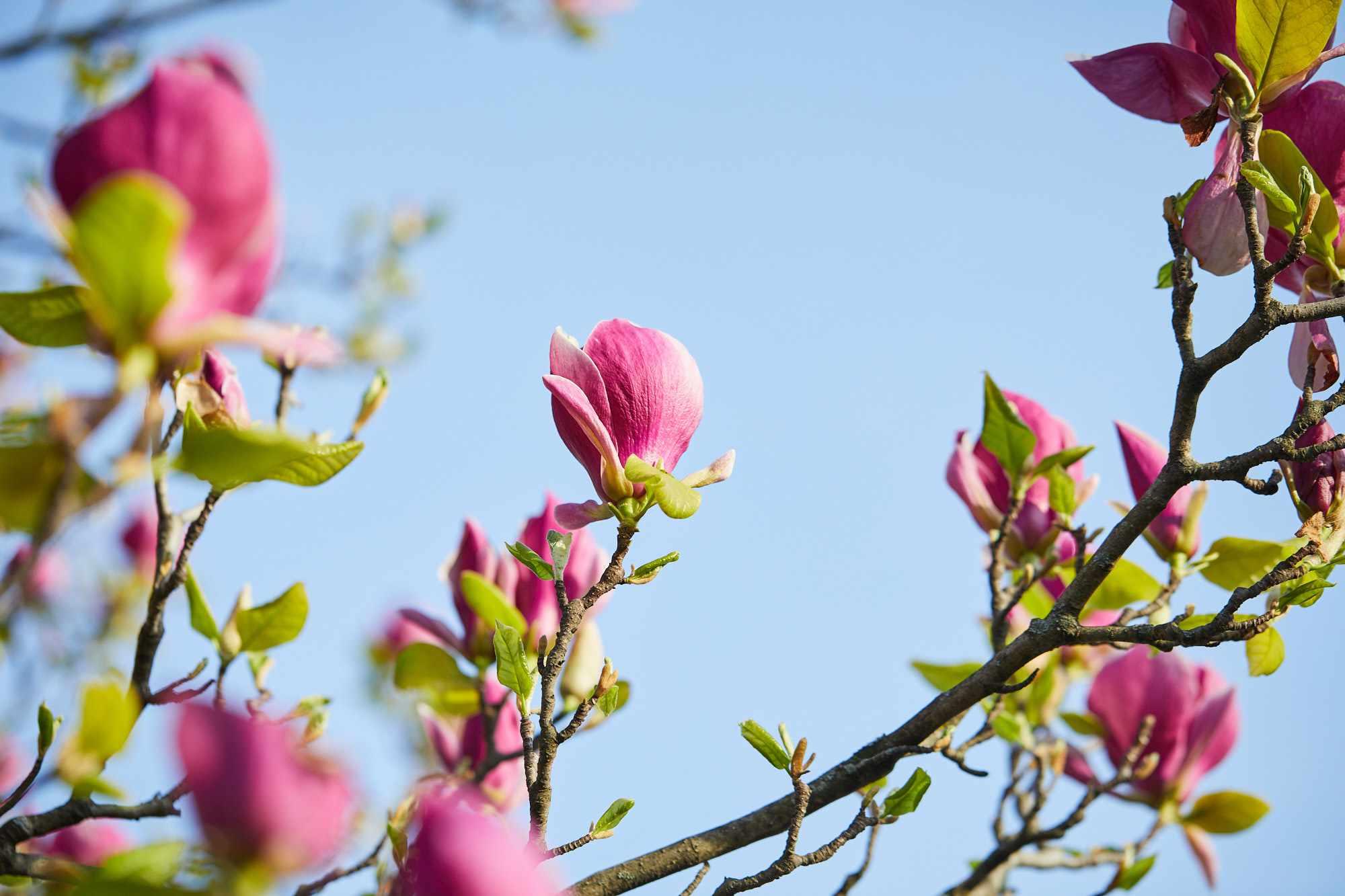 a soulangiana variety of saucer magnolia