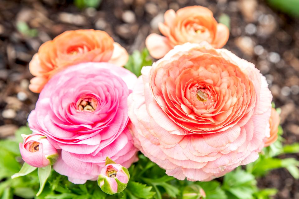 Ranunculus buttercup flowers with pink and orange circular petals and buds