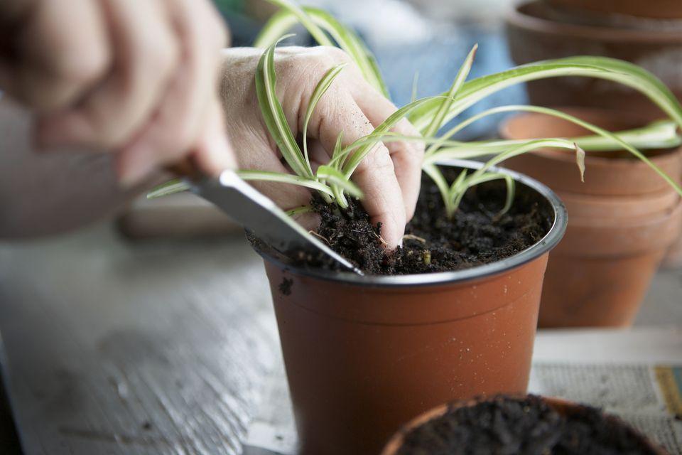Hands propagating spider plant plantlets.