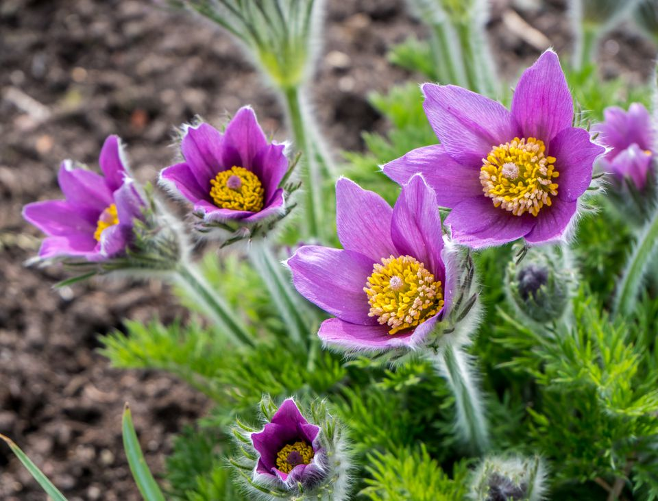 Pasqueflower blooming on a mountainside