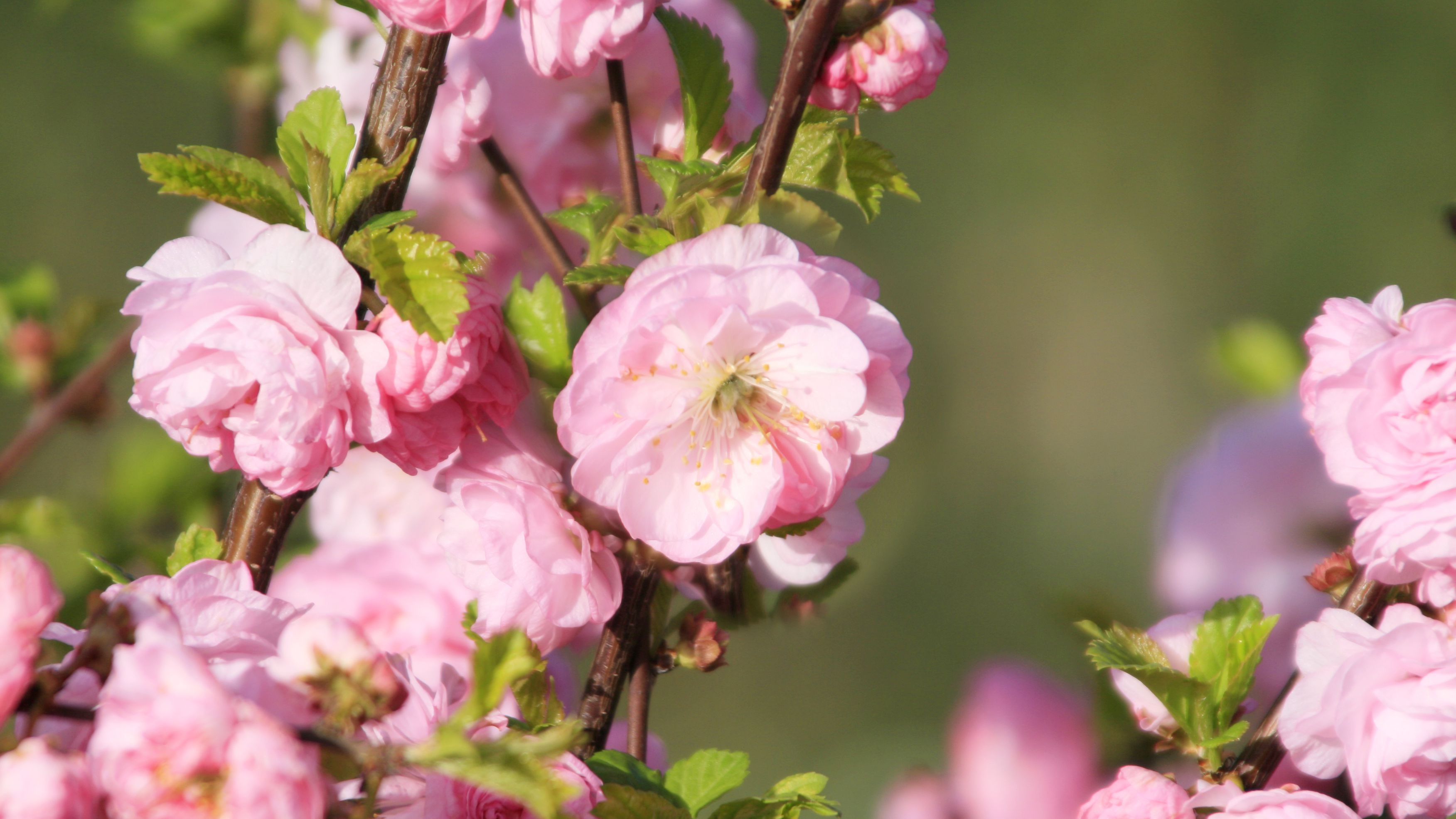 Dwarf Flowering Almond Plant Care And Growing Guide