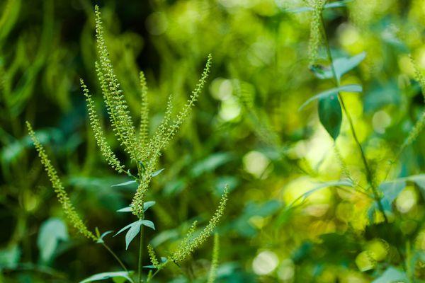 Giant ragweed