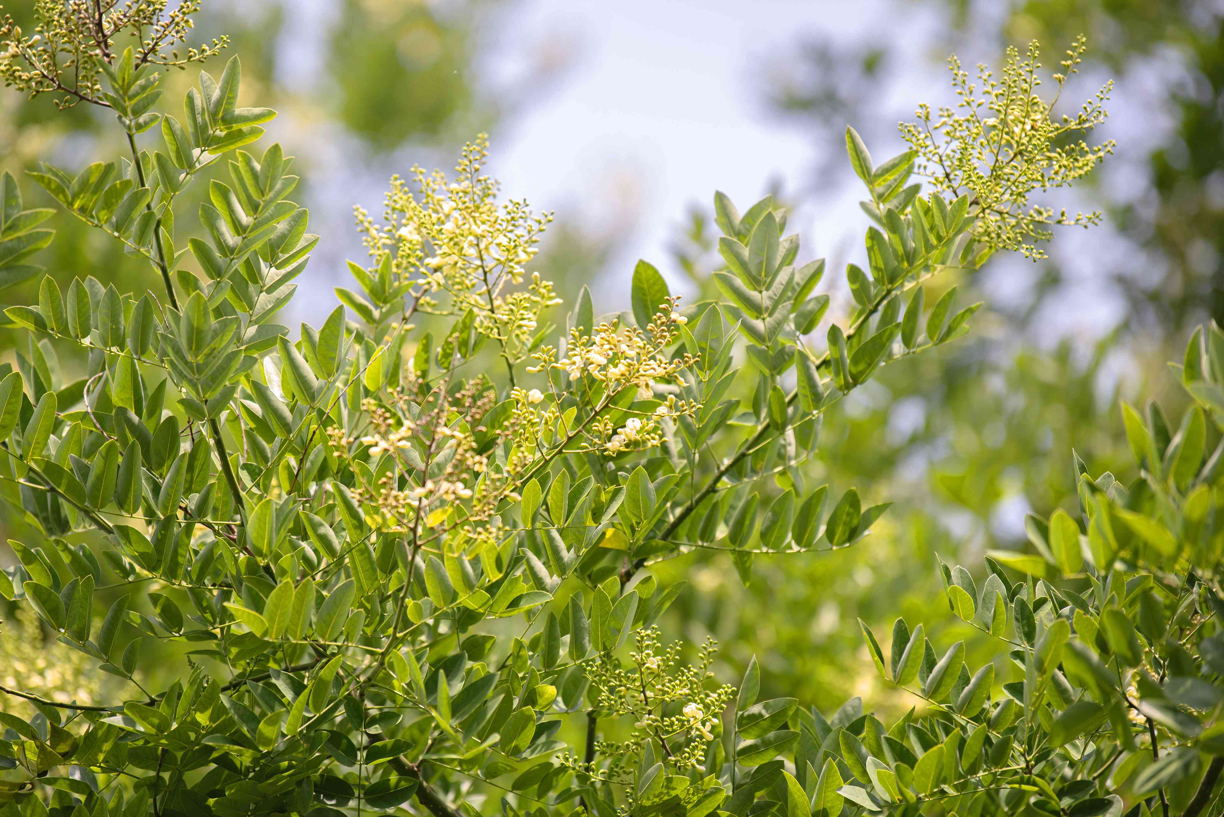 Japanese pagoda tree branches with small oval leaves and tiny yellow flower clusters