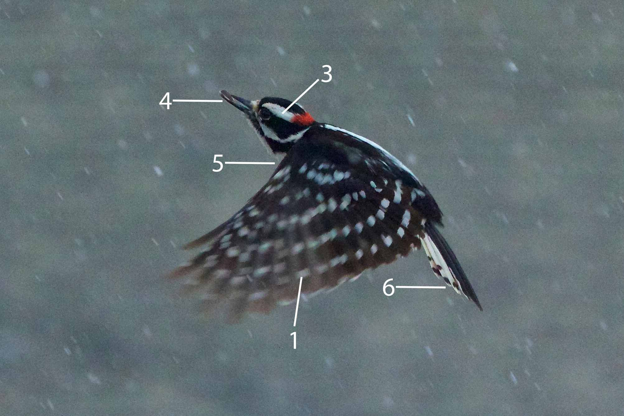 Pájaro carpintero suave en vuelo