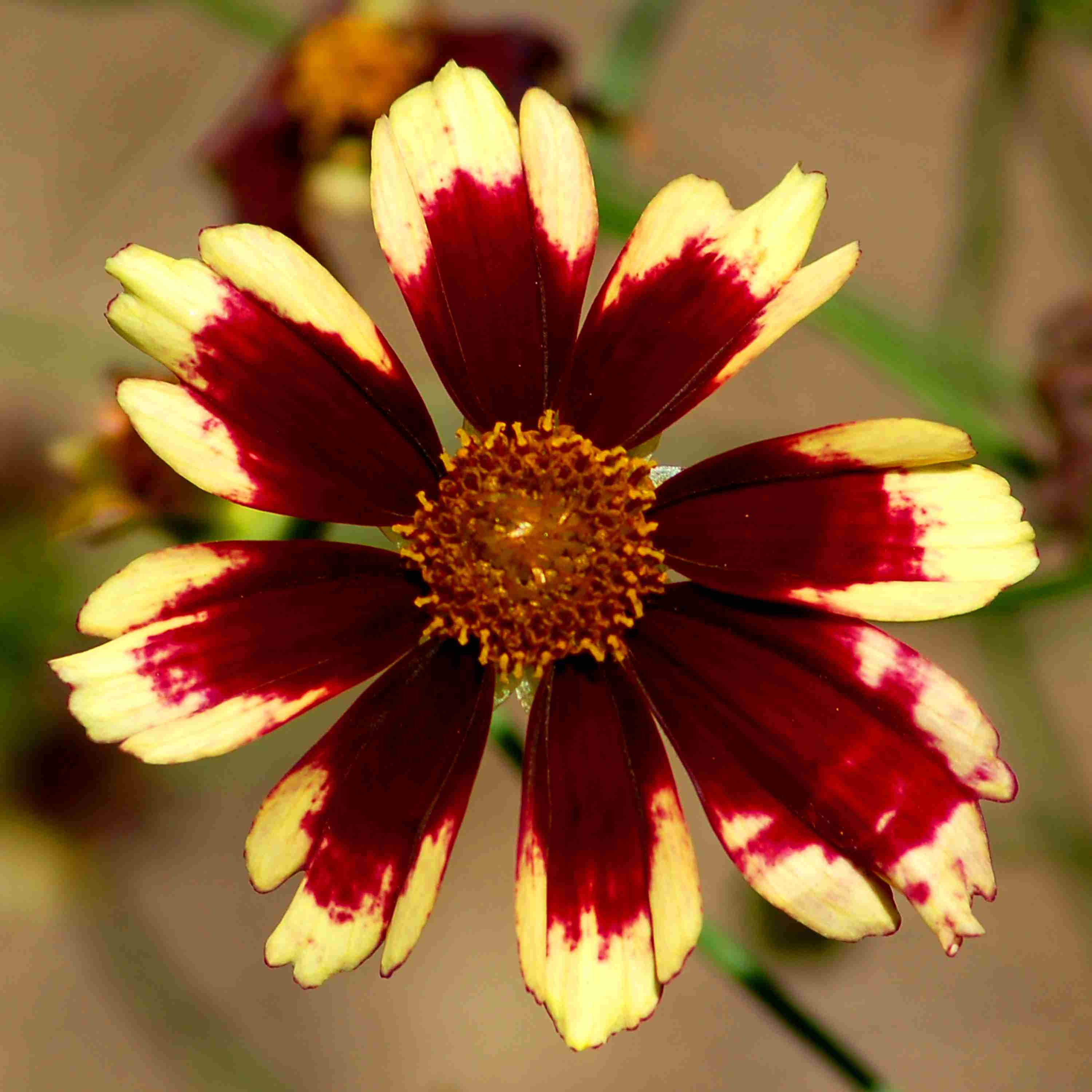 My picture shows Ruby Frost coreopsis. It's a bi-colored flower with a rich red color.