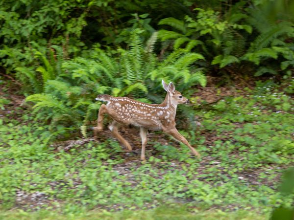 fawn running in the woods