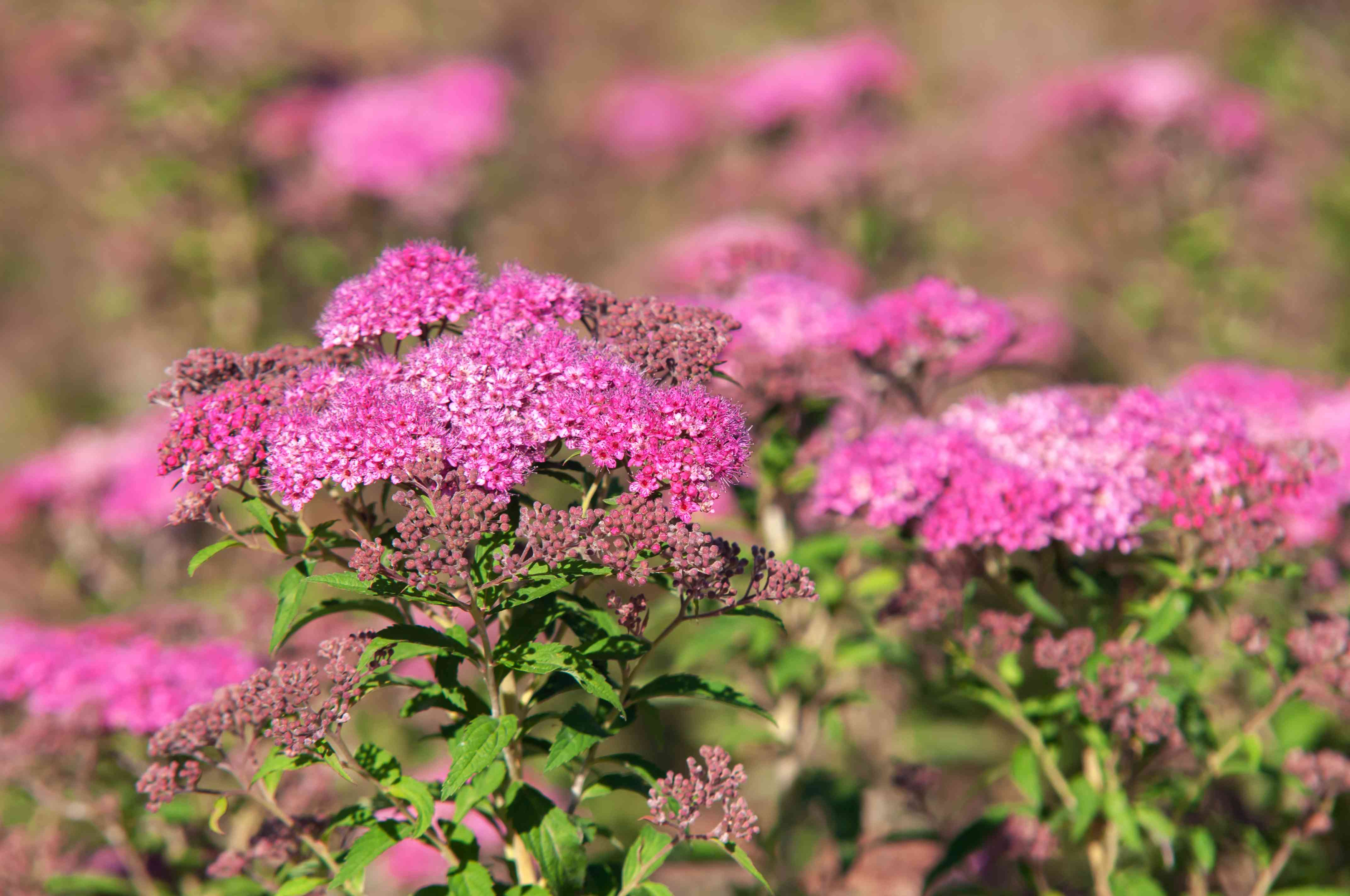 Spirea shrub with pink flowers in sunlight